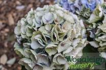 Hydrangea macrophylla Opal (antique)