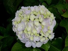 Hydrangea macrophylla Otaksa
