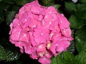 Hydrangea macrophylla Parzifal