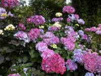 Hydrangea serrata Preziosa