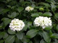 Hydrangea macrophylla Princess Juliana