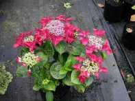 Hydrangea macrophylla Redstart (Rotschwanz)