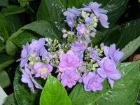 Hydrangea macrophylla Romance (PVR)