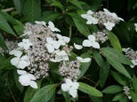 Hydrangea scandens ssp chinensis