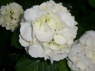 Hydrangea macrophylla Schneeball (Snowball)