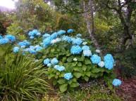 Hydrangea macrophylla Vibraye (Generale Vicomtesse de Vibraye)