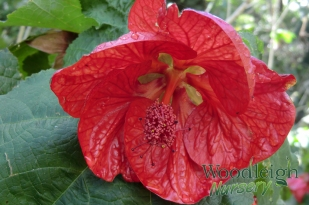 Abutilon Strawberry Crush