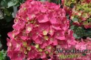 Hydrangea macrophylla Arthur Billard