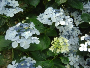 Hydrangea Beaute Vendomoise