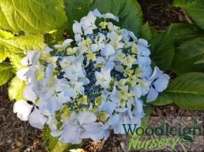 Hydrangea macrophylla Beaute Vendomoise