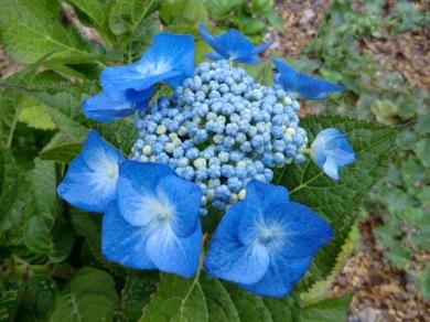 Hydrangea macrophylla Blaumeise (Blue Meisse)