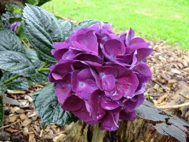 Hydrangea macrophylla Bloody Marvellous (Merveille Sanguine)