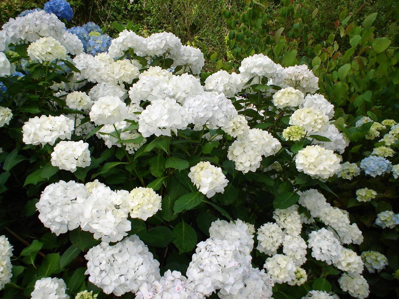 hydrangea macrophylla bridal bouquet woodleigh nursery. Black Bedroom Furniture Sets. Home Design Ideas