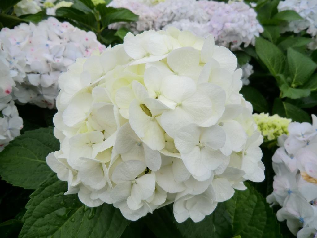 Hydrangea macrophylla bridal bouquet woodleigh nursery