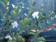 Camellia Fairy Blush