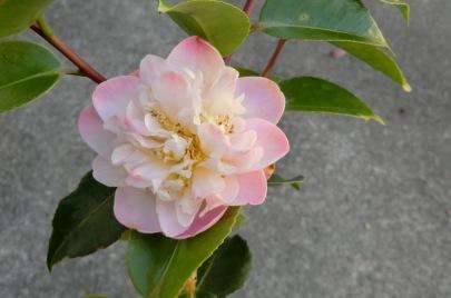 Camellia High Fragrance