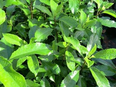 Melicytus macrophyllus (large-leafed mahoe)