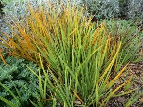 Libertia peregrinans (NZ Iris)