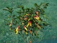 Jacobinia pauciflora