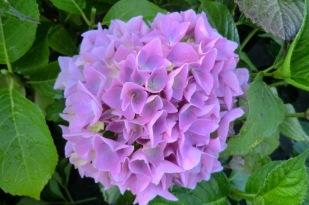 Hydrangea macrophylla Colonel Durham Hydrangea macrophylla Colonel Durham