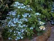 Hydrangea serrata Diadem