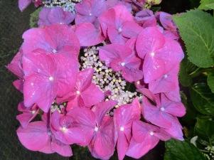 Hydrangea macrophylla Fasan