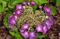 Hydrangea macrophylla Geoffrey Chadbund
