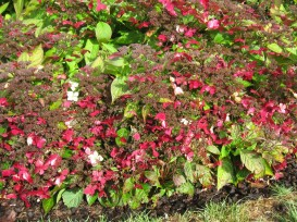 Hydrangea serrata Grayswood - autumn
