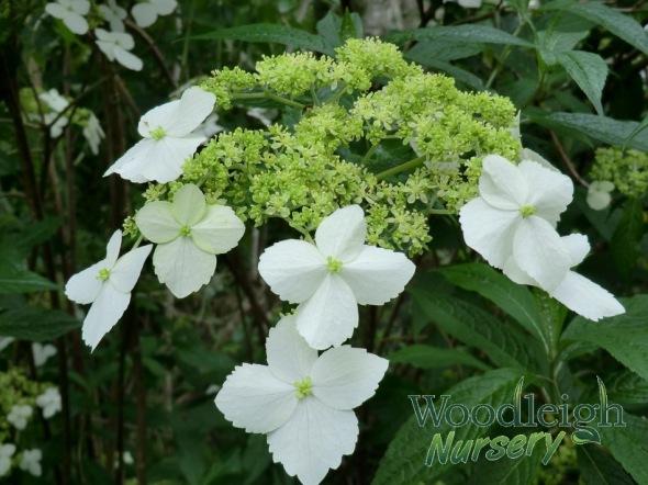 Hydrangea angustipetala (chingii)
