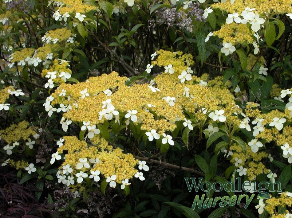 Hydrangea angustipetala Gold Dust (chingii)