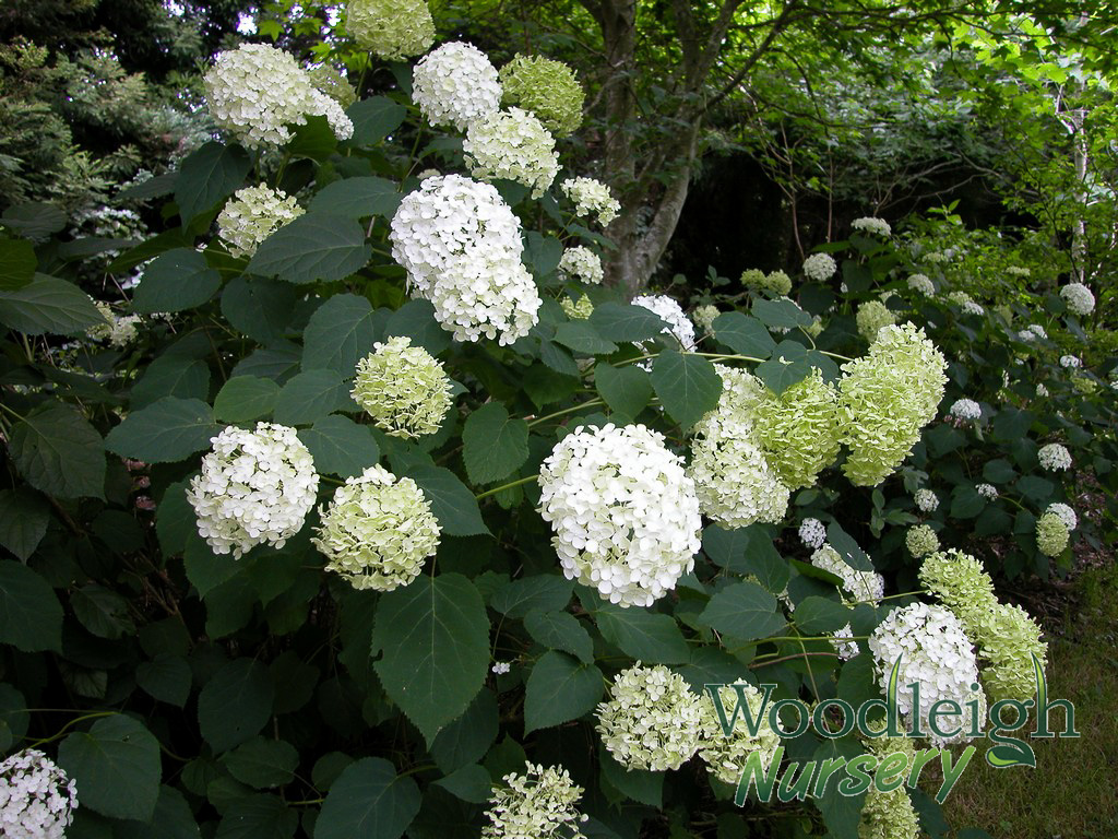 Hydrangea arborescens annabelle woodleigh nursery for Annabelle hydrangea