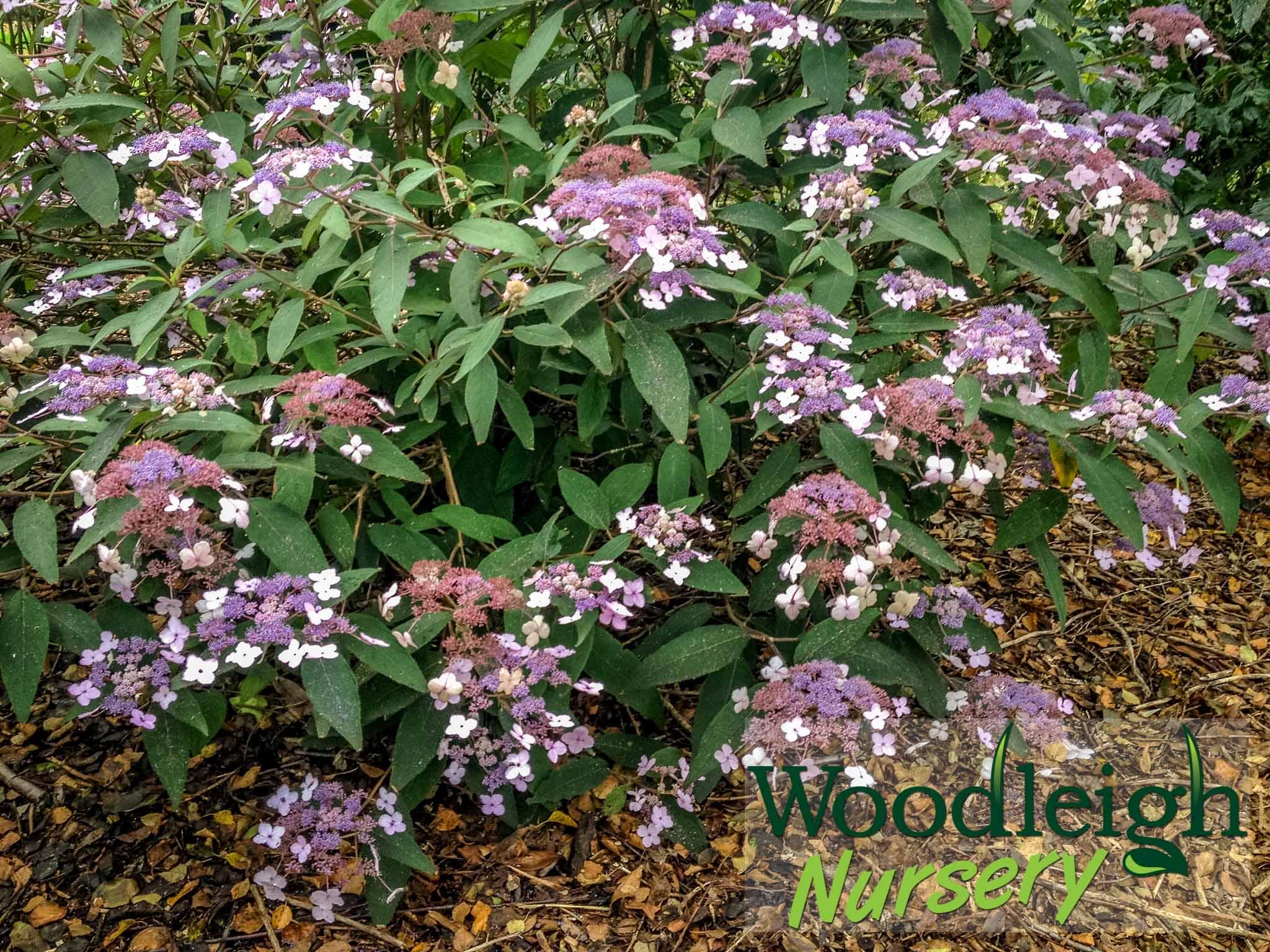 Hydrangea aspira ssp villosa