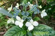 Hydrangea indochinensis