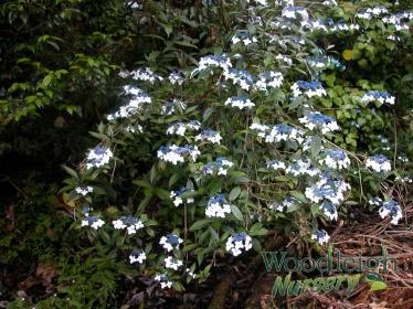 Hydrangea indochinensis (dark leaved form)
