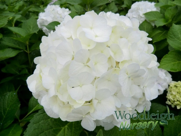 Hydrangea macrophylla Agnes Pavelli