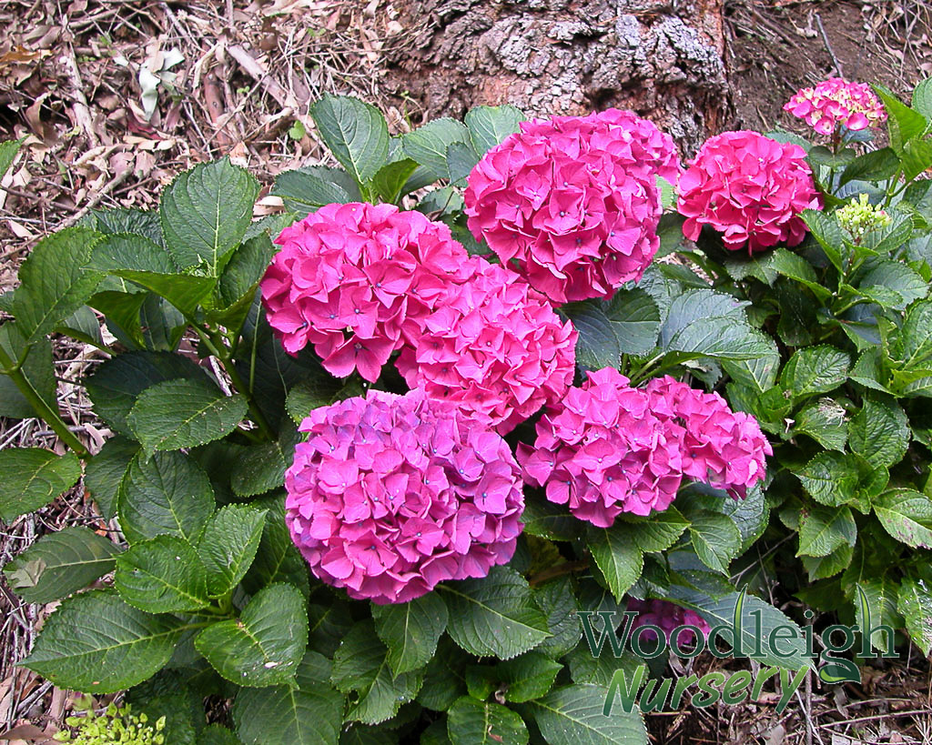 hydrangea macrophylla alpenglow alpengluhen woodleigh nursery. Black Bedroom Furniture Sets. Home Design Ideas