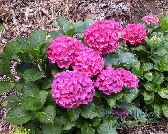 Hydrangea macrophylla Alpenglow (Alpengluhen)