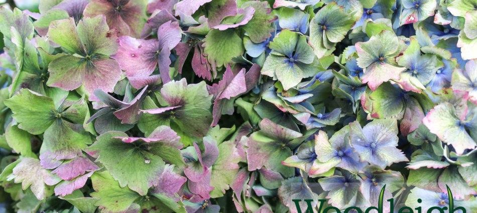 Hydrangea macrophylla Altona (antiqued)