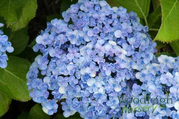 Hydrangea macrophylla Ayesha -Bubbles Silver Slipper -December 2012