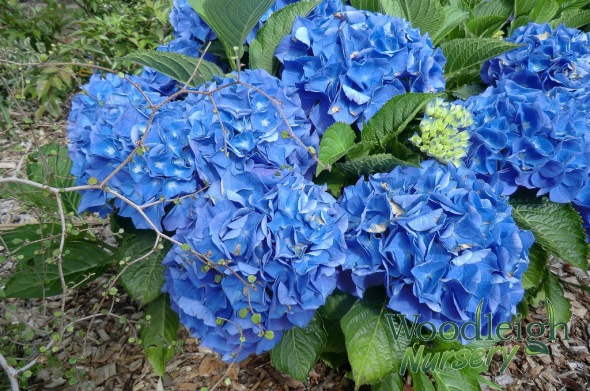 Hydrangea macrophylla Birgit Blue