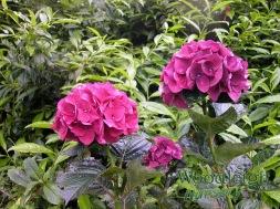 Hydrangea macrophylla Bloody Marvellous 2