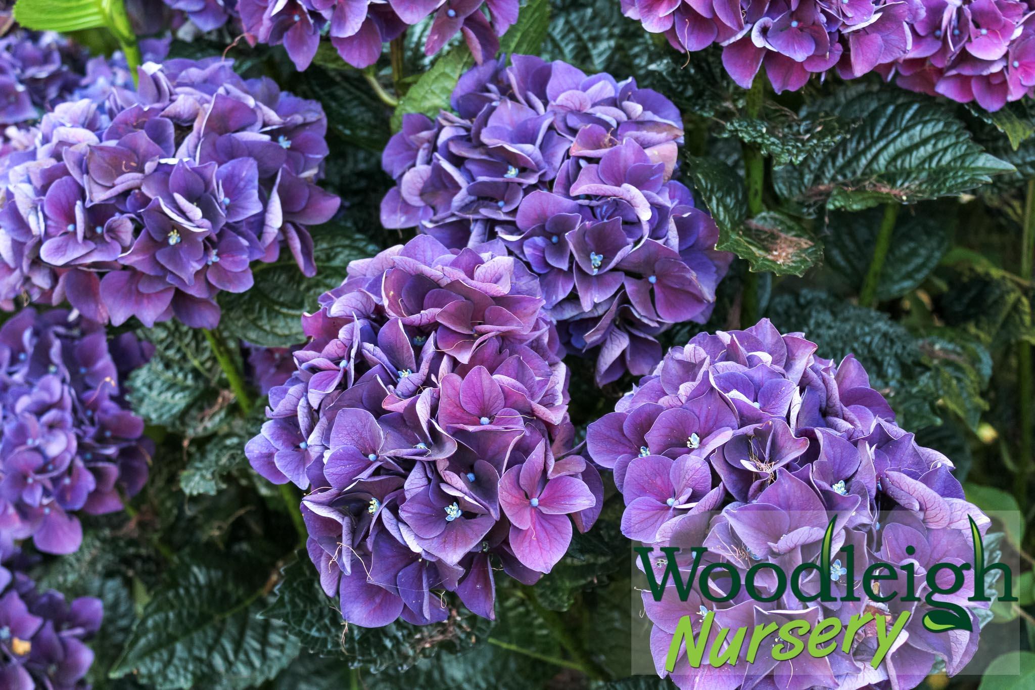 Hydrangea macrophylla Bloody Marvellous (Merveille Sanguine or Raspberry Fantasy)