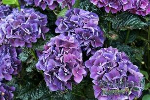 Hydrangea macrophylla Bloody Marvellous