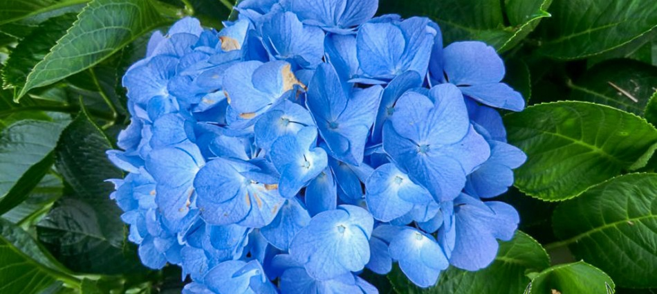 Hydrangea macrophylla Blue Diamond