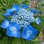 Hydrangea macrophylla Blue Meisse (Blaumeise)