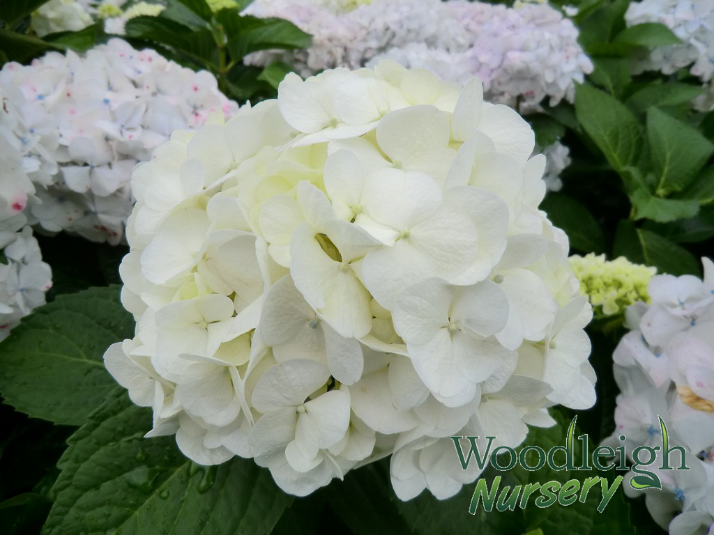 Hydrangea Macrophylla Bridal Bouquet Woodleigh Nursery