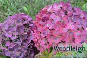 Hydrangea macrophylla Colonel Durham_