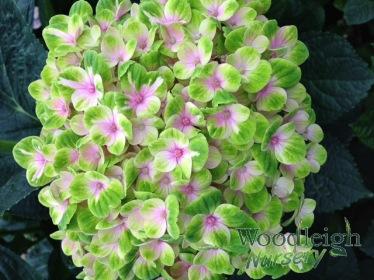 Hydrangea macrophylla Coral