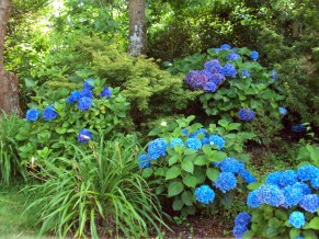 Hydrangea macrophylla Elbe (right foreground)