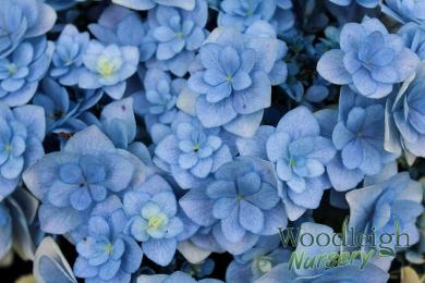 Hydrangea macrophylla Forever (Youme)